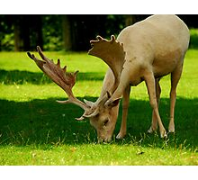 """ALBINO DEER"" Photographic Print"