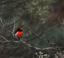 Red-capped Robin - Male by EnviroKey