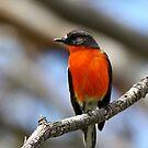 Flame Robin - Male by EnviroKey