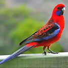 Crimson Rosella by Jackie  Smith