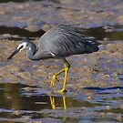White Faced Heron by Jackie  Smith