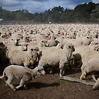 Merino Sheep on the Run!  by Anna Ryan
