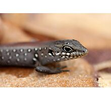 White's Skink Photographic Print