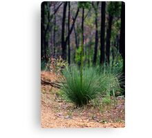 Young Xanthorrhoea Canvas Print