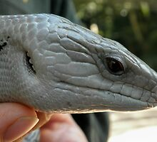 Blue tongue Lizard, Australia Zoo, Beerwah,Queensland, Australia. by kaysharp