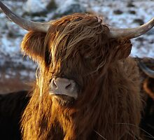 Highland Cow by chriscyner