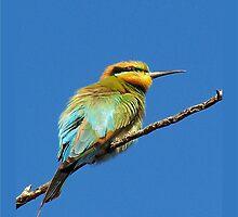 Rainbow Bee-eater by jono johnson