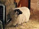Soft Shimmering Sheep by Barberelli