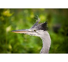 grey heron head portrait  Photographic Print