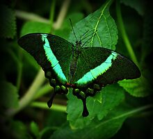 Emerald Swallowtail by Sandy Keeton
