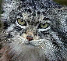 Special Siberian by felinefriends