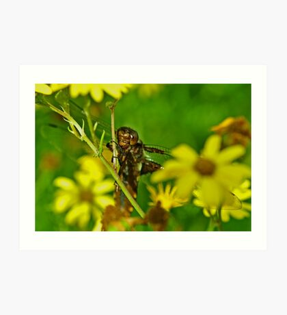 Female Broad-bodied chaser Art Print