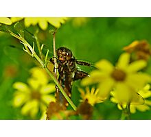 Female Broad-bodied chaser Photographic Print