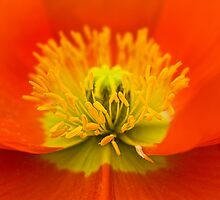 Heart of an orange poppy by Celeste Mookherjee