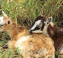 Two Young Goats by rhamm