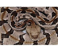 Ready To Strike,  Tember Rattle Snake! Photographic Print