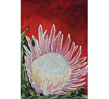 Protea on red  Photographic Print