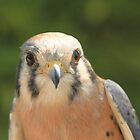 American Kestrel by Laddie Halupa