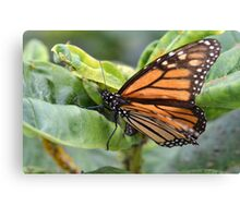 Amazing Monarch Canvas Print