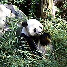 Panda, San Diego Zoo by ACBPhotos