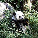 Panda, San Diego Zoo by ACBPhotos