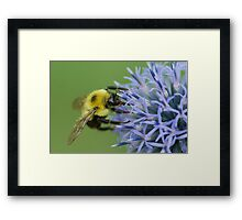 Bumblebee on Globe Thistle. Framed Print