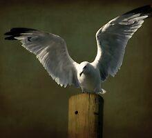 Gull by Michael  Herrfurth