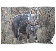 Nyala bull Poster