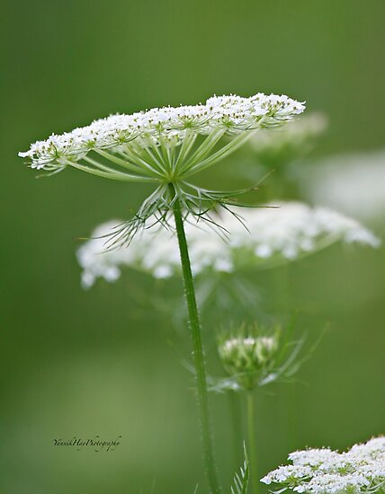 Flower Stack - Queen Anne's Lace by Yannik Hay