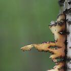 birch creation by yvesrossetti