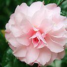 Pink Camellia 3 by Maureen Clark