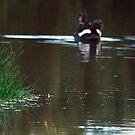 Phillip Island swan by Maureen Clark