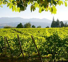 Vineyard by ccaetano