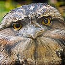 Tawny Frogmouth by Tony Steinberg