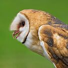 Barn owl profile by Daniel  Parent
