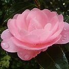 Camellia by Cathie Tranent
