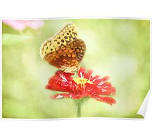 Aphrodite Butterfly on Zinnia Poster