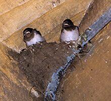 Swallows nest by BizziLizzy