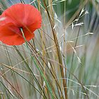 Poppy in the Grasses  by DIANE  FIFIELD