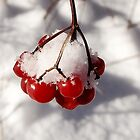 American Cranberries in Snow by Kathilee