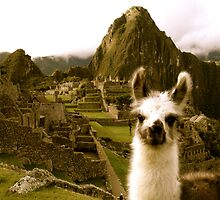 Baby Alpaca at Machu Picchu by Danielle Chappell-Hall