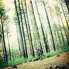 long leaf pine trees in Eastern North Carolina by Jennifer Westmoreland