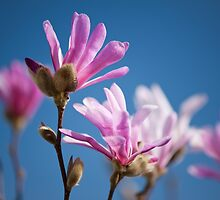 Vibrant pink Magnolia flowers by Arletta Cwalina