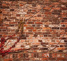 Red ivy hedge climber on wall by Arletta Cwalina