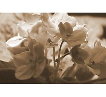 Violets in Sepia Photographic Print