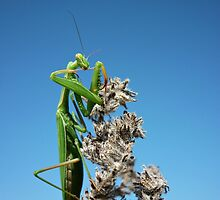 Cleaning my cutlery .....European Praying Mantis ( Mantis religiosa) by Istvan froghunter