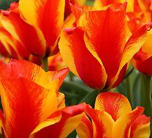 Tulips by DianeAleta
