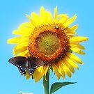 sunflower and butterfly by SusieG