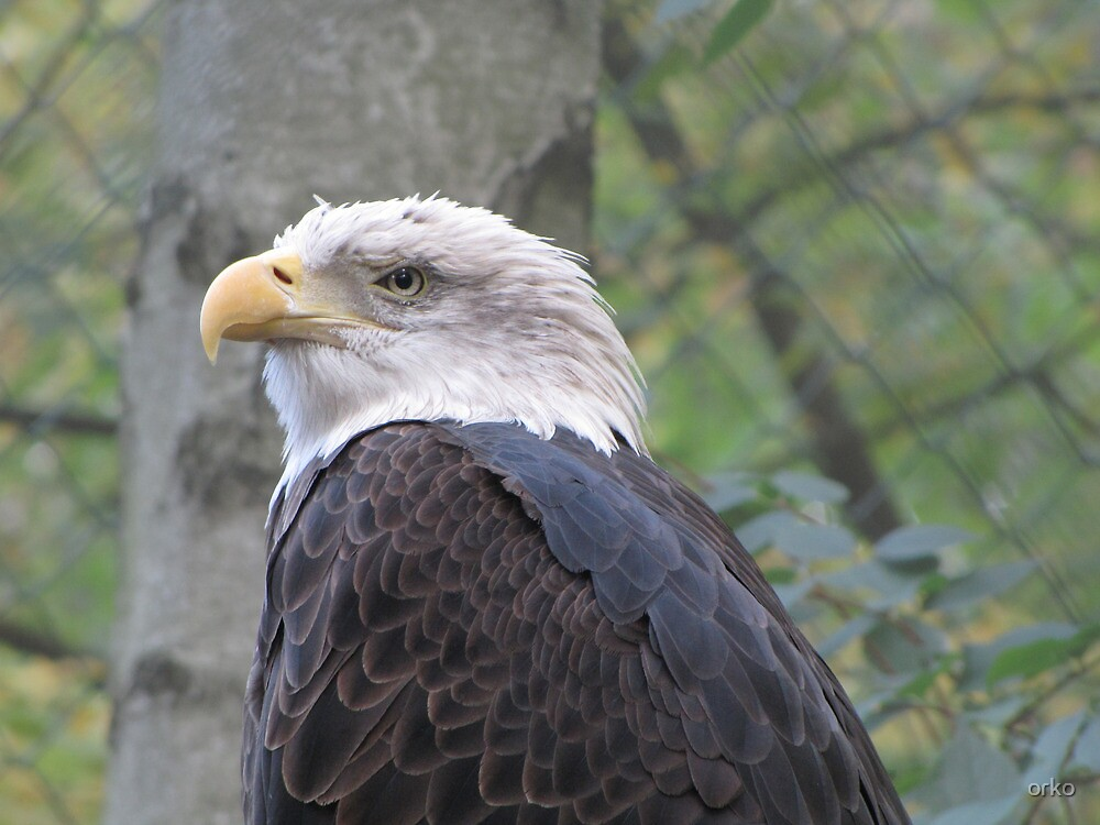 White Head Eagle by orko