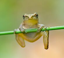 Spring Peeper Chin-ups. by Daniel Cadieux